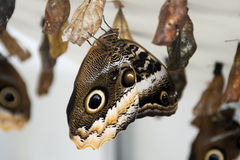 New butterfly emerging from hanging pupa Stock Photos