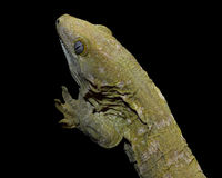 New Caledonia Giant Gecko on a black background. New Caledonia Giant Gecko (Rhacodactylus leachianus) isolated on a black background Royalty Free Stock Photos