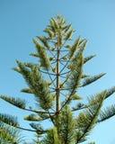 New Caledonia or Norfolk Island Pine royalty free stock image