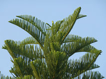 New Caledonia Pine or Cook Pine Tree Against Vibrant Blue Sky Royalty Free Stock Photo