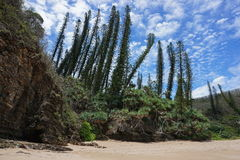 New Caledonia pines and pandanus on beach shore royalty free stock photography