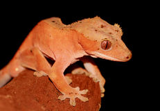 New caledonian/crested gecko Royalty Free Stock Photo