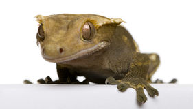 New Caledonian Crested Gecko Royalty Free Stock Image