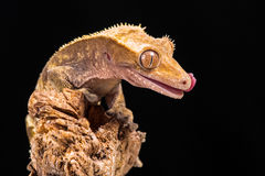New Caledonian Crested Gecko Stock Images