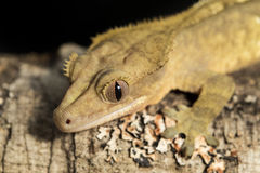 New Caledonian crested gecko on a branch Stock Images