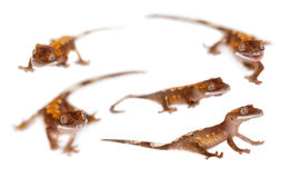 New Caledonian crested gecko on white Stock Image