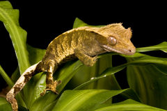 New Caledonian Gecko Royalty Free Stock Photo