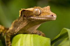 New Caledonian Gecko Stock Photography