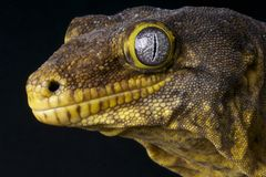 New Caledonian Giant Gecko Royalty Free Stock Photography