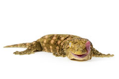 New Caledonian Giant Gecko Royalty Free Stock Photos