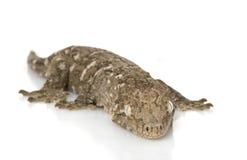 New Caledonian Giant Gecko Stock Photo