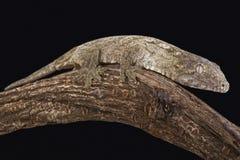 New Caledonian Giant Gecko (Rhacodactylus leachianus) Royalty Free Stock Photo