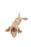 The New Caledonian giant gecko on white Royalty Free Stock Photography