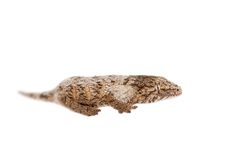 The New Caledonian giant gecko on white Stock Image