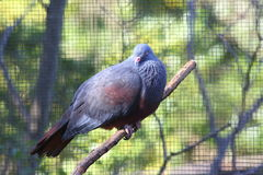 New Caledonian Imperial-pigeon. (Ducula goliath Stock Image