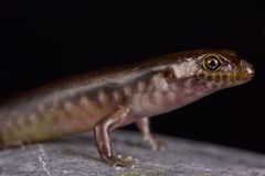 New Caledonian night skink Kanakysaurus viviparus. The New Caledonian night skink Kanakysaurus viviparus is a recently discovered and described skink species Royalty Free Stock Photos