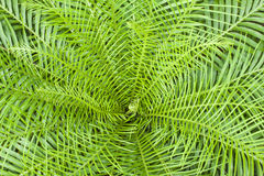 New calidonia fern. New frond of the new calidonia fern Royalty Free Stock Photo
