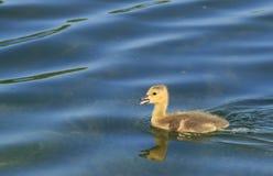New Canada Goose Stock Photo