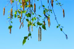 New catkins of birch. Springtime. Spring has come Royalty Free Stock Image