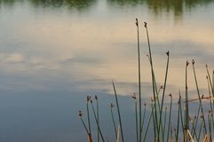 New cattails. In the spring along a pond in Wyoming USA royalty free stock photo