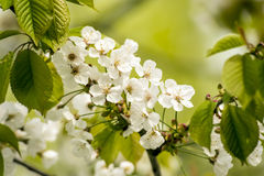 New cherry blossoms Royalty Free Stock Image