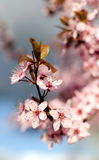 New cherry flowers in Seattle Stock Photography