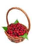 New cherry harvest Royalty Free Stock Images