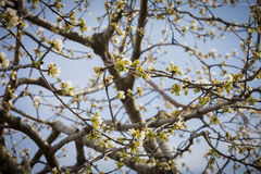 New Cherry Sprouts on Branch Royalty Free Stock Photography