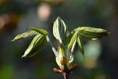 New Chestnut leaves Royalty Free Stock Photo