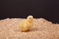 New Chick Stock Photo
