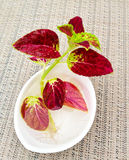 A new coleus plant with roots in a bowl with water. Stock Image