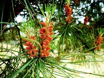 New cones of pine Royalty Free Stock Photos