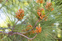 New cones of the pine tree Royalty Free Stock Image