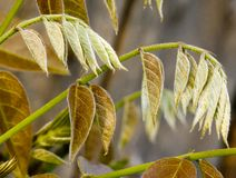 New copper-coloured leaves in spring Stock Images