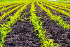 New corn field. New life in a corn field. Wide perspective of a corn field Royalty Free Stock Image
