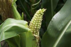 New Corn Growing Stock Photos