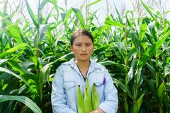New corn yield in the hands of the farmers.  royalty free stock photo