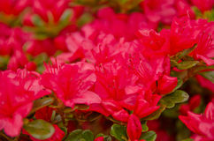New Crimson azalea season Royalty Free Stock Photography