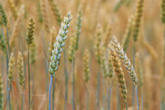 New crop of grain, wheat sprouts Royalty Free Stock Image