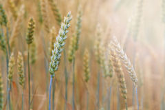 New crop of grain, wheat sprouts with sunny hotspot Royalty Free Stock Images