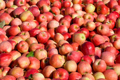 New crop of red Gala apples Royalty Free Stock Photos
