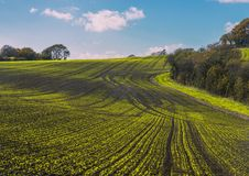 New crops in Combe Valley, East Sussex, England. A lovely view of spring crops as they push through the wet soils after intense spring rains. Farmers have royalty free stock photo