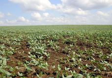 New crops and new day. New agricultural crops awaiting the rain to sprout new shoots Stock Images