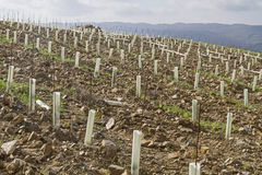 New cultivation of a vineyard Stock Photo