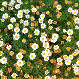 New daisy flower blossoms and withered daisy blossoms Stock Photo