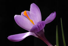 A new day of crocus Stock Image