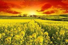New Day Dawns. Stunning Sunrise over a Healthy crop with Farm nestling on the Hillside Stock Image