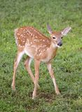 New deer. Whitetail deer fawn with spots on a grassy field stock photo