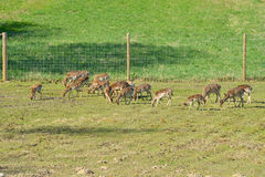 New deer herd Royalty Free Stock Image