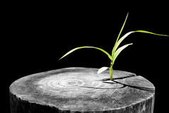 New development and renewal as a business concept of emerging leadership success as an old cut down tree and a strong seedling gro Stock Images